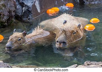 Capybara in water at zoo