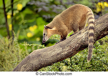 South American Coati on branch - South American Coati, or...