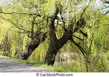 willows - big old willows growing on the dyke of a pond in...