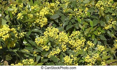 Small yellow flowers mahonia in spring morning