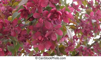 Apple Blossom red color swinging in the wind spring morning