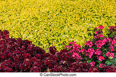 Ornamental plant coleus and begonias two colors in the...