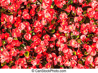 Flowers begonias. Background