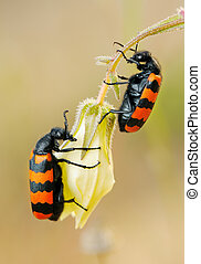 Blister beetles on a flower - Poisonous blister beetles with...
