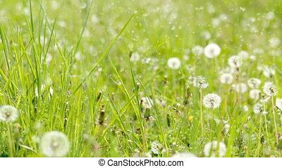 Dandelion in a green field. slide from right to left. dust...