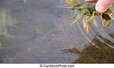 fisherman caught crayfish and releases the it back into the...
