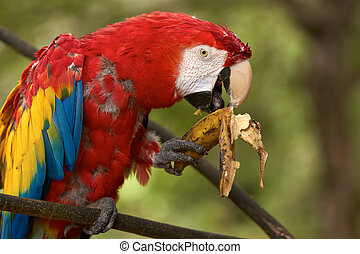 Old red macaw parrot eating a banana - Old red macaw parrot...