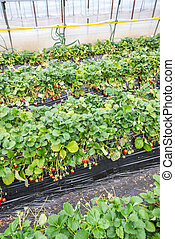 Strawberries undercover - Rows of strawberry plants growing...