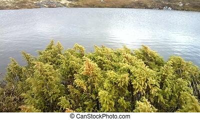 Lush juniper on bank of little mountain lake - Lush western...
