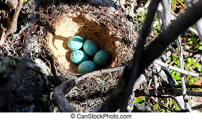 Nest of song thrush Turdus philomelos with clutch of blue...
