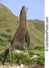 Komodo dragon stands on its hind legs and open mouth The...