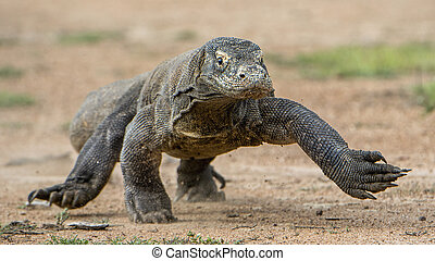 Attack of a Komodo dragon The dragon running on sand The...