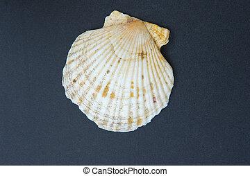 White Scallops Shell