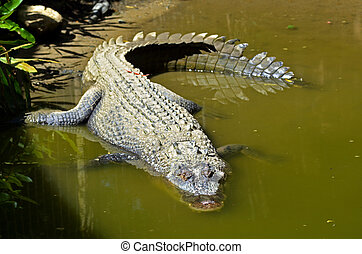Saltwater crocodile in water in Queensland Australia