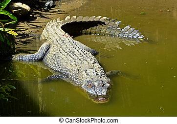 Saltwater crocodile in water in Queensland Australia