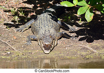Saltwater crocodile rest on a river bank with his jaws open...