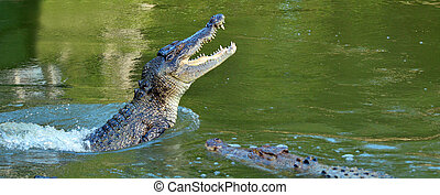 Saltwater crocodile leap out of the water in a river in...