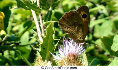 satyr butterflies is feeding nectar on flower thistle -...