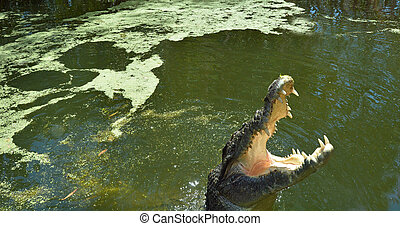 Jaws of a Saltwater crocodile leap out of the water - jaws...
