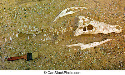 Saltwater crocodile skeleton bury in the sand - Archaeology...