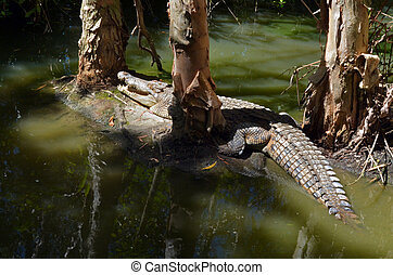 Saltwater crocodile in a swamp in Queensland Australia