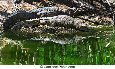Two freshwater crocodile on a river bank in Queensland...