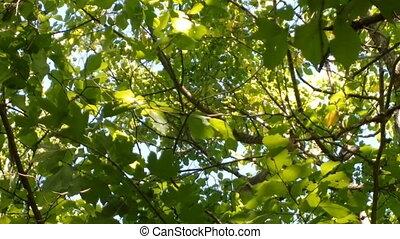 Altai squirrel in the deciduous forest. Sciurus altaicus
