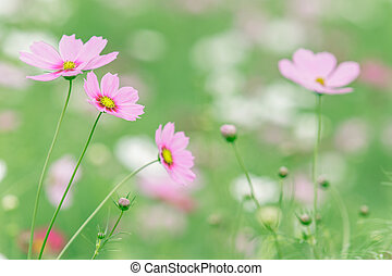 pink cosmos flower blooming against green blur background
