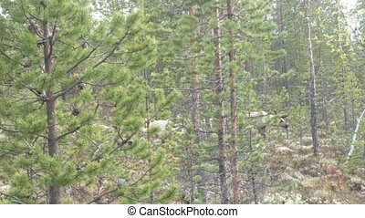 Lapland reindeer are on swampy part of pine forest - Herd of...