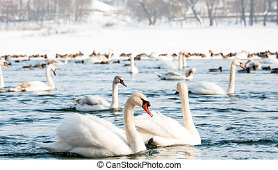 Swans on the river in winter