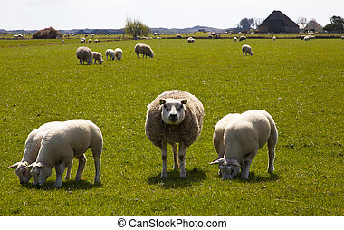 sheep with lamb on texel the netherlands