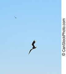 Lapwing in flight