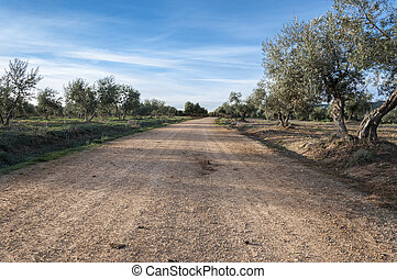 Dirt road between olive groves in an agricultural landscape...