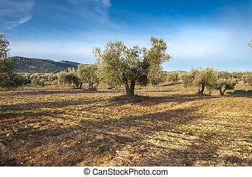 Olive groves in an agricultural landscape in La Mancha,...