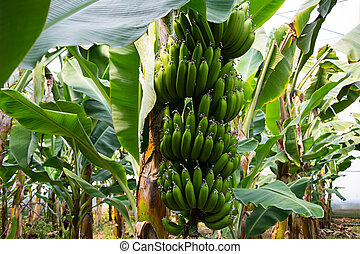 Banana tree with a bunch of growing bananas, Alanya, Turkey