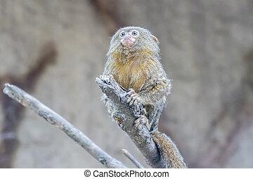 Callithrix, pygmaea, pigmeo, mono tití,