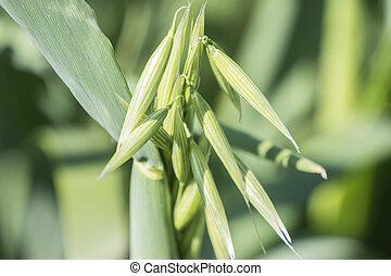 Unripe Oat harvest, green field