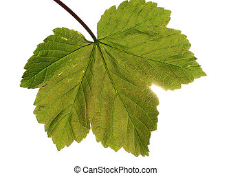Sycamore leaf - Single sycamore leaf with light shining...