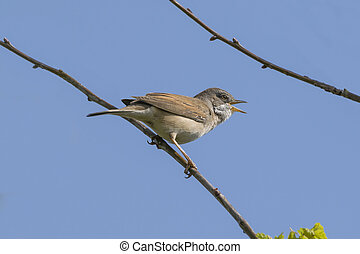 Whitethroat Bird Singing - Whitethroat bird chirping away...