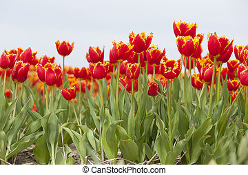 vibrant red tulips with yellow brims in dutch field