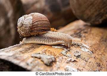 Helix pomatia, common names the Burgundy snail, Roman snail,...