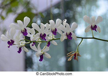 Orchids Gen; Orchidaea - Blooming colourfully here in a...