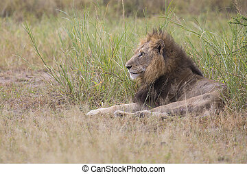 Injured old lion male lying in the grass and lick his wounds