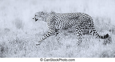 Cheetah hunting through dry grass for prey to chase