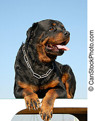 rottweiler - portrait of a purebred rottweiler on a blue sky