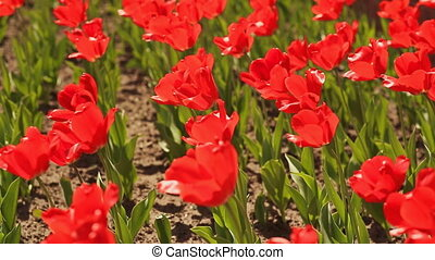 Red tulips in early morning - Field with red tulips in early...