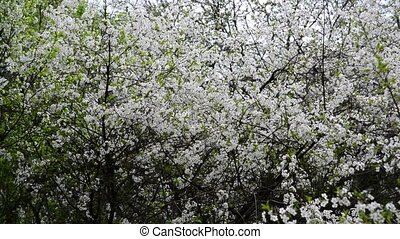 Cherry Orchard abundantly blooming in spring - Cherry...