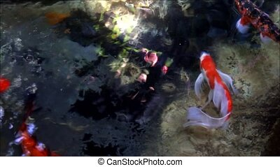 fish - Koi Carp in pond