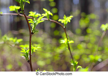 Spring twigs with new small leaves in forest