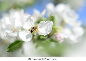 Honeybee and white flowers - Nature background. Honeybee and...